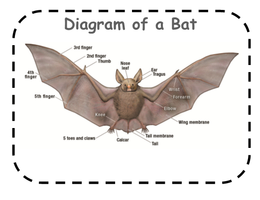 Bats  A Mini Book With Diagram And Fact  U0026 Opinion